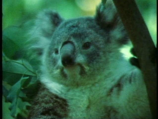 SYDNEY, AUSTRALIA, 1985, Koala, close up of face, Australia | Shutterstock HD Video #1013884898