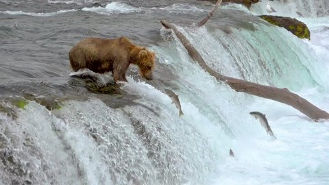 Brown bear Waiting at the Edge of Brooks falls to Catch Salmon Jumping up at Katmai National Park, Alaska