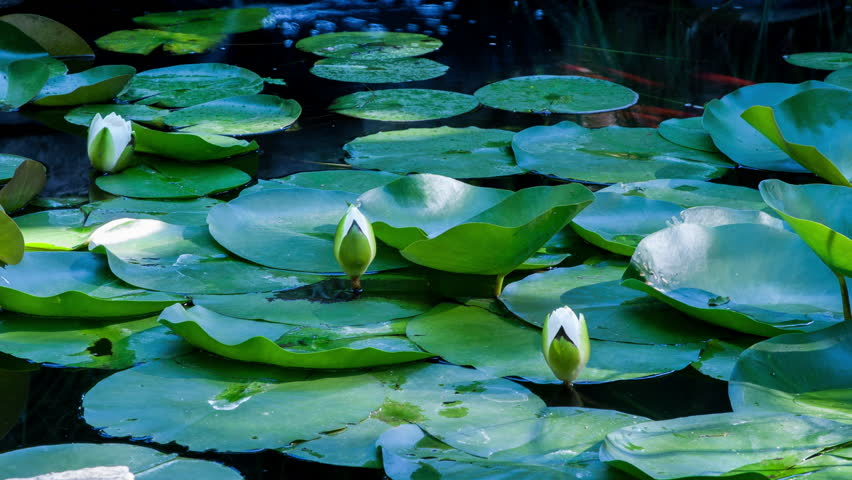 Time lapse lotus flowers opening and closing in a pond. Cycle of blooming flowers during the summer time. Beautiful white lily pond. Personal wellness and relaxation concept.
