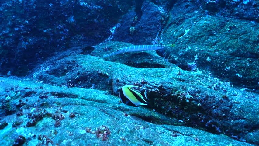 Trumpetfish on rock ledge at Roca Partida, Socorro.