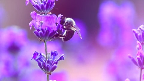 Honey Bee on Lavender. Honeybee working on Growing Lavender Flowers field closeup. Macro. Slow motion 240 fps. Blooming Violet fragrant lavender flowers on a field, close up. 4K UHD video