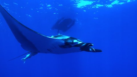 Looking up at giant manta ray swimming past with dive boat on the surface - Socorro.