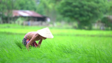 Asian farmer transplant rice seedlings in rice field,Farmer planting rice in the rainy season,Asian farmer is withdrawn seedling and kick soil flick of Before the grown in paddy field,Vietnam,