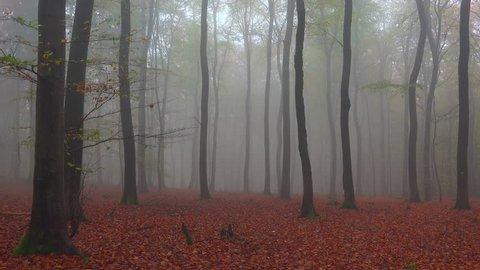 Fog in the autumn beech forest, Freudenburg, Rhineland-Palatinate, Germany, Europe