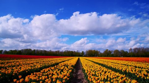 Field of tulips in Holland during springtime