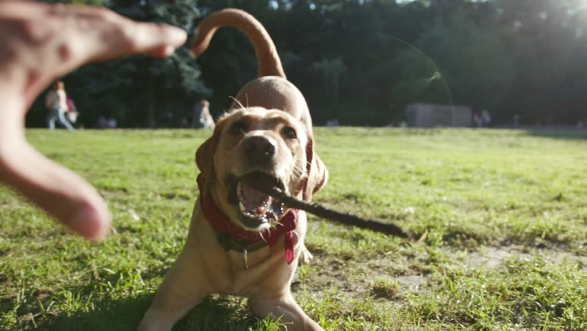 Happy dog labrador golden playing with wooden stick close up hand man outdoor at park mammal animal outside pedigree pet retriever arm bite doggy fur walk adorable catch slow motion | Shutterstock HD Video #1014142868