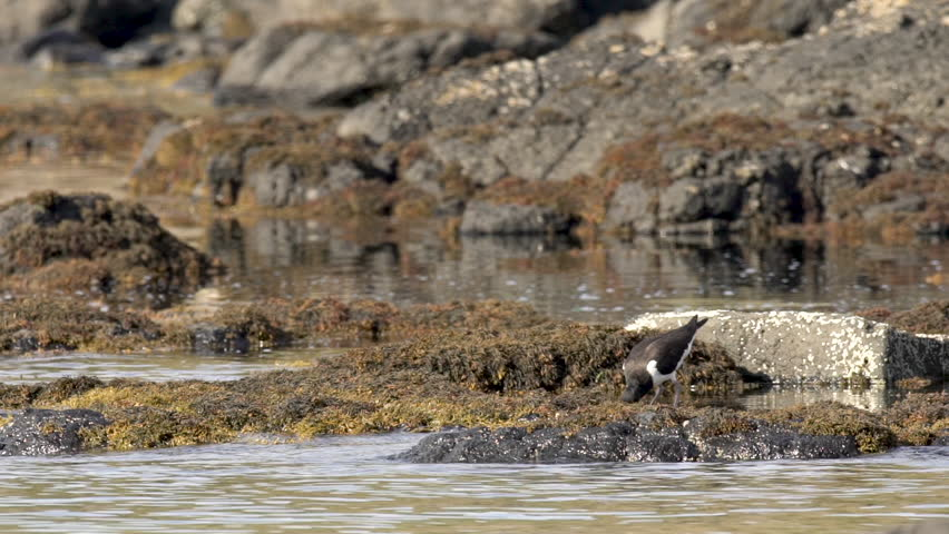 An oystercatcher in a lake
