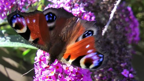 close up of peacock butterfly on lilac bush