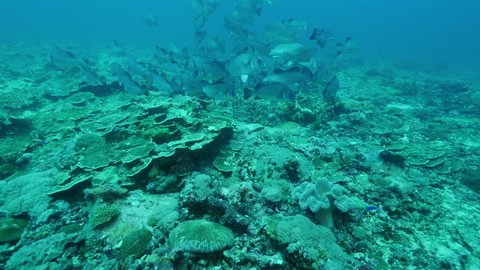 School of Giant Trevally swimming along reef bed on Great Barrier Reef
