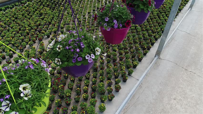 Cultivation of flowers in a large flower greenhouse, flower business, petunia flowers in flower pots, Greenhouse with colorful blooming flowers,