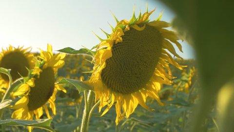 Sunflower lantern video 4k