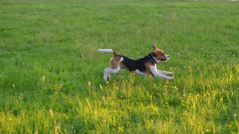 Active dog run for toy at grass, jump and fly in air, find ring and pick it up to bring back to owner. Young beagle play fetch game at bank of lake, low sun brightly shine