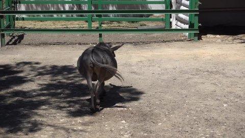 Kherson region, Ukraine - 3d of June 2018: 4K Tour to the Askania-Nova reserve - Heavily pregnant donkey walks away