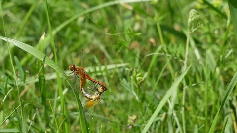 Dragonflies copulate in a grass.