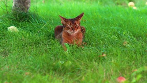 Domestic abyssinian cat lies on the lawn and watching around