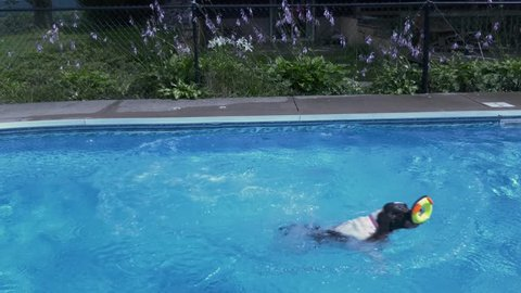 A Springer Spaniel jumps into a pool chasing a rubber ducky toy, opposite side view, 4K.