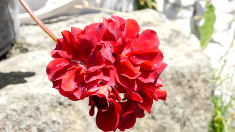 Red Geranium beautiful plant in a public garden. bud sways in the wind. slow motion