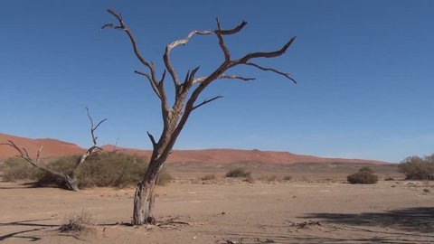 HD quality video of dry riverbed, camel thorn trees, dry grass at sunrise in endless sand sea area of Sossusvlei Namib Desert on sunny early morning in Namib-Naulkuft Park in Namibia, southern Africa