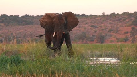 Lone bull elephant on the bank of the zambezi river in or near chobe park in africa.