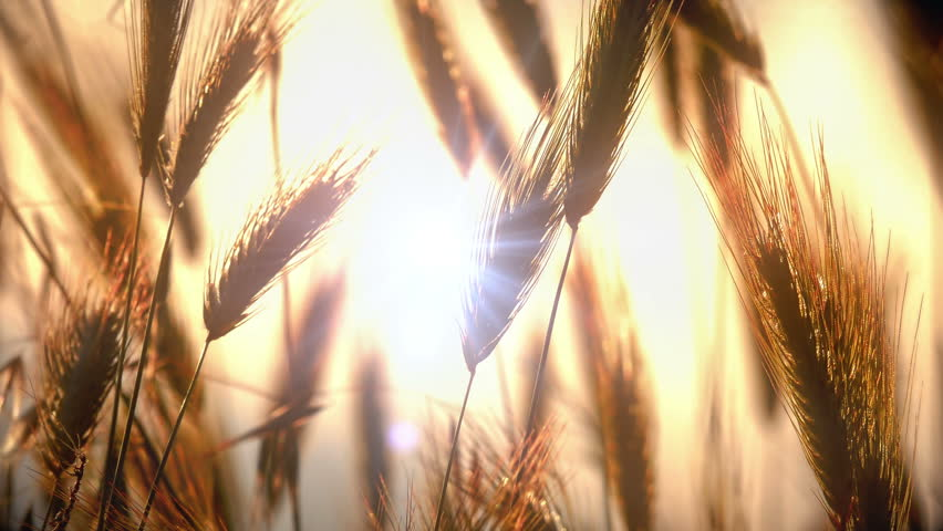 sunset grass in filed 4k #1014472088