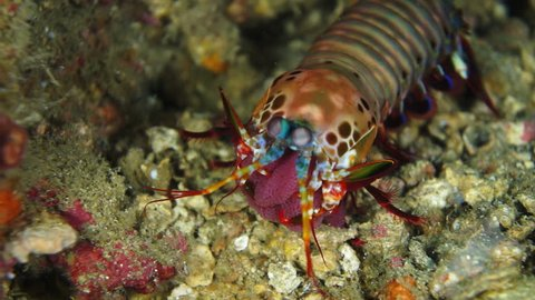 Large mantis shrimp with clutch of eggs turning and walking away at Anilao in the Philippines.