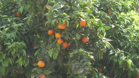 Orange tree on Calle of St. Augustine (Augustinian Fathers), Malaga, Andalucia, Spain, Europe
