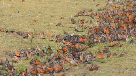 Monarch Butterflies at the El Rosario Butterfly Preserve, Mexico