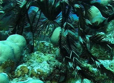 Invertebrate echinoderm Feather crinoid (Oligometra serripinna) crawling on the stone. Red Sea. Egypt