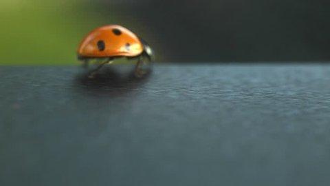 Orange ladybug on a dark table