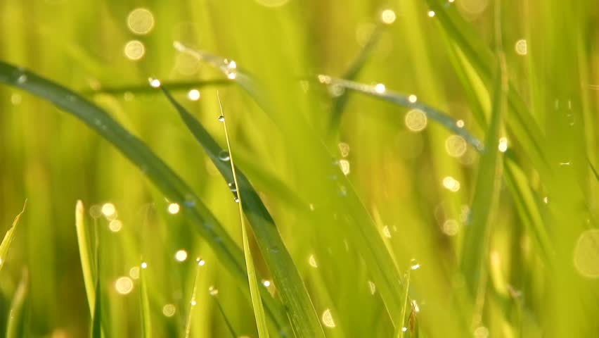 Fresh green grass with dew drops clips,dew drops on green grass footage,rain drops on green grass video,Ultra hd 4k dew drop on green grass movie
