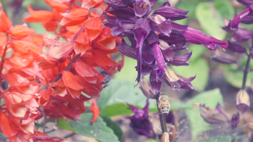 Fuzzy purple flowers royalty free stock video in 4k and hd hd0015honey bee hovers around purple flower in search of nectar filmed in 240fps mightylinksfo