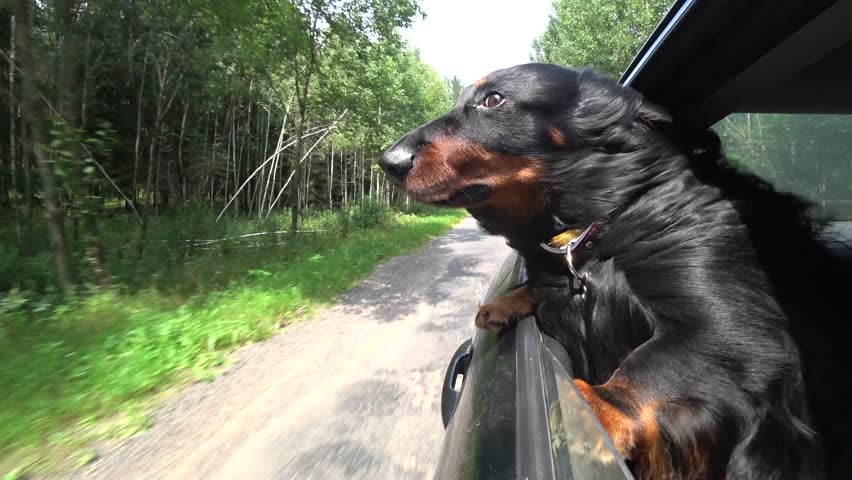 Black-and-brown Long-haired dachshund slipped his muzzle in the wind. Dog in car window. Forest background 4K video.