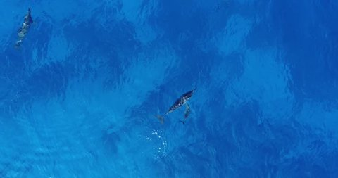 Aerial shot of a spinner dolphin pup swimming close to its mother in Kailua Kona, Hawaii.