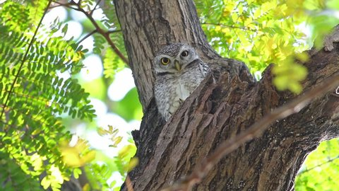 Spotted owlet Athene brama Beautiful Birds of Thailand