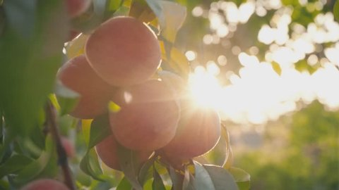 Large ripe peaches on a tree in a fruit garden, close-up. Peaches in the sunlight