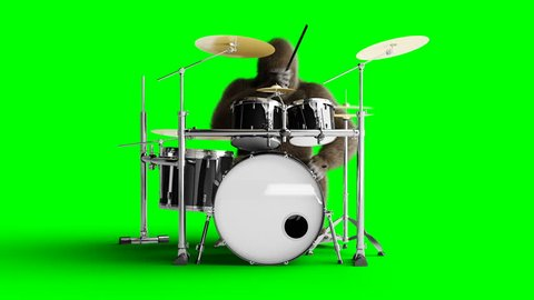 Funny brown gorilla play the drum. Super realistic fur and hair. Green screen 4K animation.