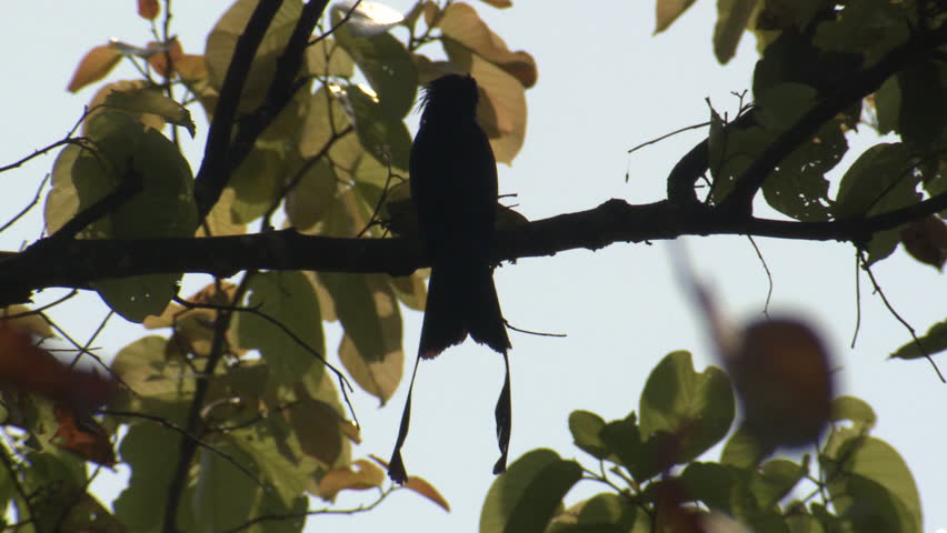Greater Racket-tailed Drongo Adult Lone in Spring in India | Shutterstock HD Video #1014846928