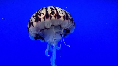 4K HD video of one purple striped jelly fish swimming through blue water into shadow of vessel above, sediment in water.