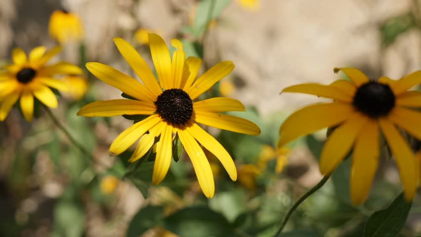 Rudbeckia fulgida Goldsturm flower close-up details 4K footage