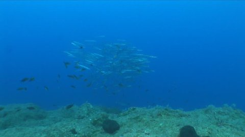 barracudas chasing big jack fish underwater