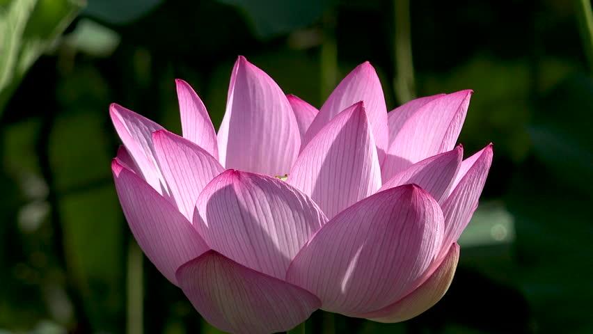 Beautiful Japanese Lotus Flower, Nagano Prefecture, Japan.
