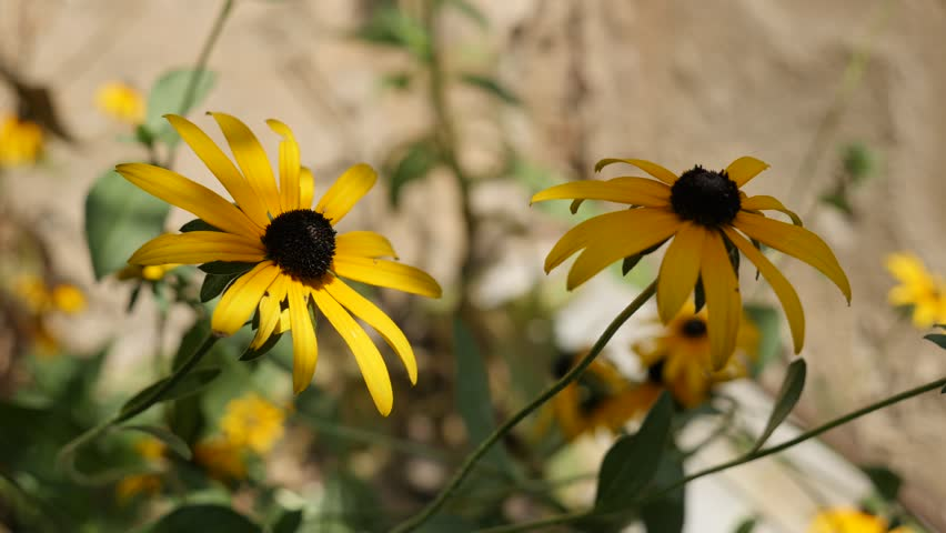 Beautiful Rudbeckia fulgida Goldsturm flower close-up 4K video