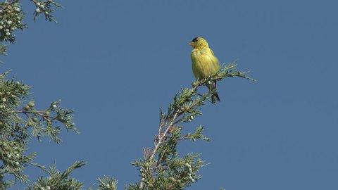 Goldfinch Adult Lone in Summer in North Dakota