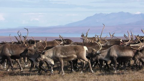 Caribou Adult Immature Herd Walking in Fall in Alaska