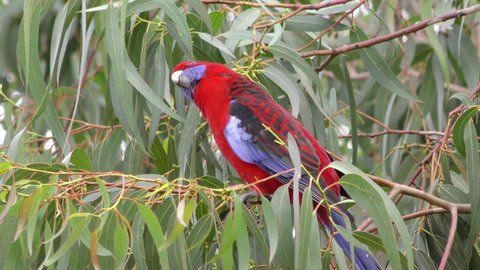 Crimson Rosella Adult Lone Perched Looking Around Red Phase in Australia