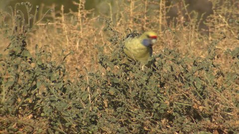 Yellow Rosella Adult Lone Eating in Australia