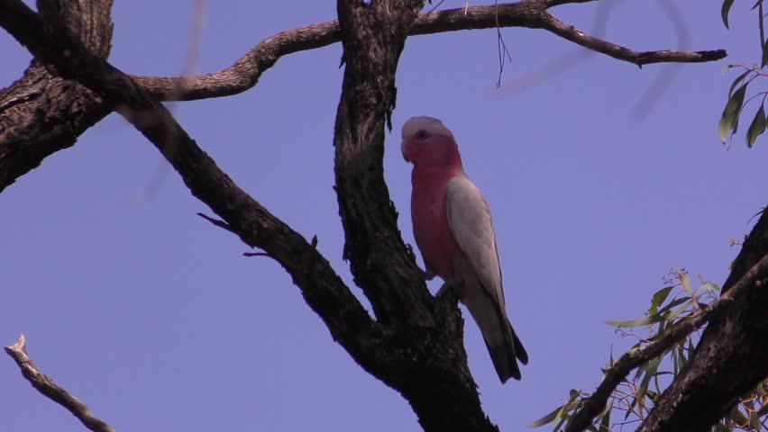 Needle felted galah cockatoo ooak parrot cockatoo realistic