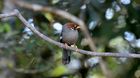 Footage Chestnut-capped Laughingthrush (Garrulax mitratus) also known as Rimba Mata Putih perch on branch in nature
