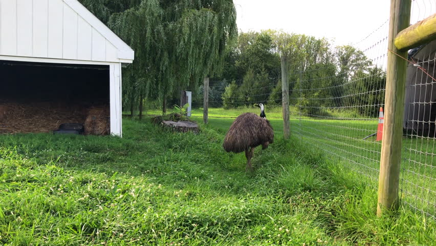 Emu standing in pen walks up to then passed camera