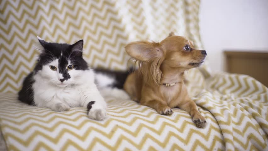 Cat and dog. Chihuahua dog and fluffy cat lie on the sofa at home